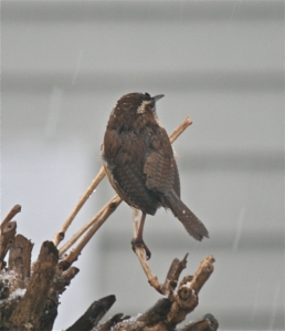 carolin wren