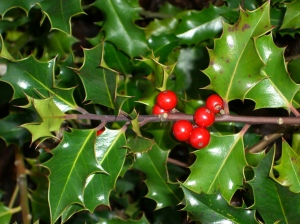holly-plant