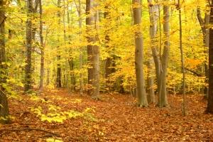 beech tree path