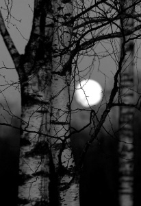 Birch and moonlight