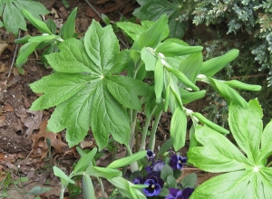 Mayapple and Solomon Seal