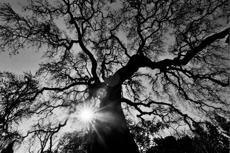 Oak tree with Sun