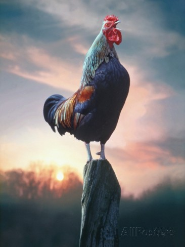 rooster-crowing-at-dawn