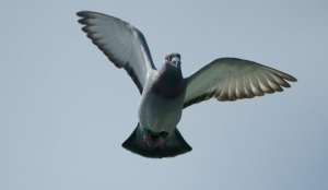 pigeon-flying