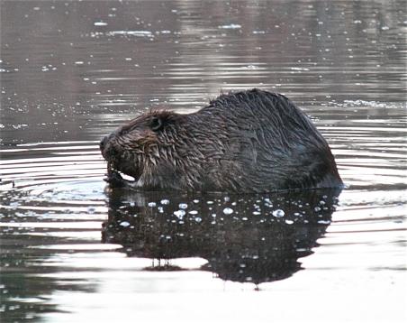 Beaver--Mainstone