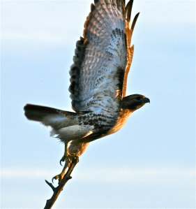 Hawk of Dawn