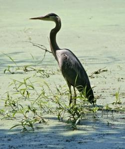 Heron in Grass