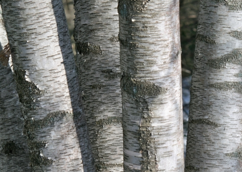 4-birch-trunks-rlf