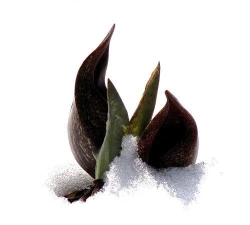 Skunk cabbage in snow