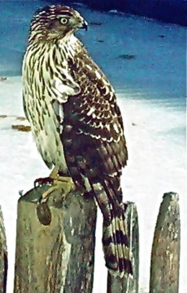 Cooper's hawk copy