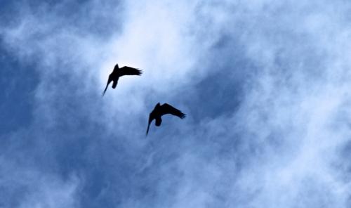 ravens in sky