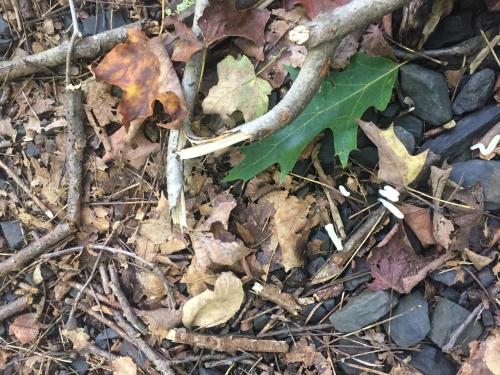 oak leaf on ground