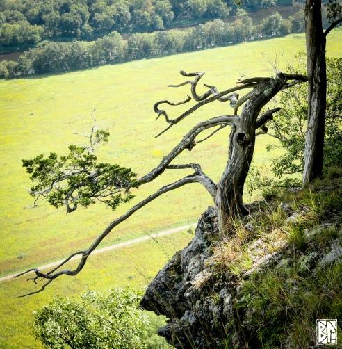 Snake tree.jpg BL