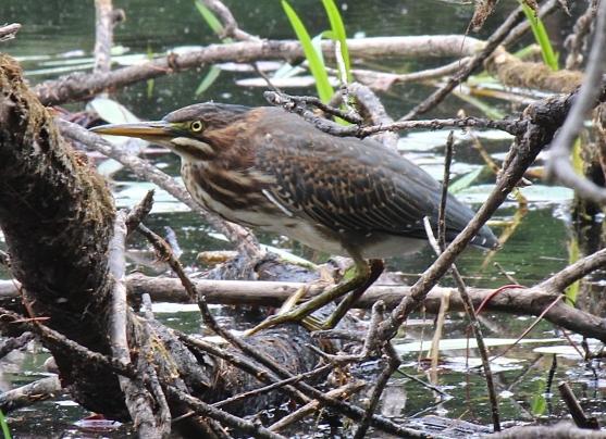 bird in swamp