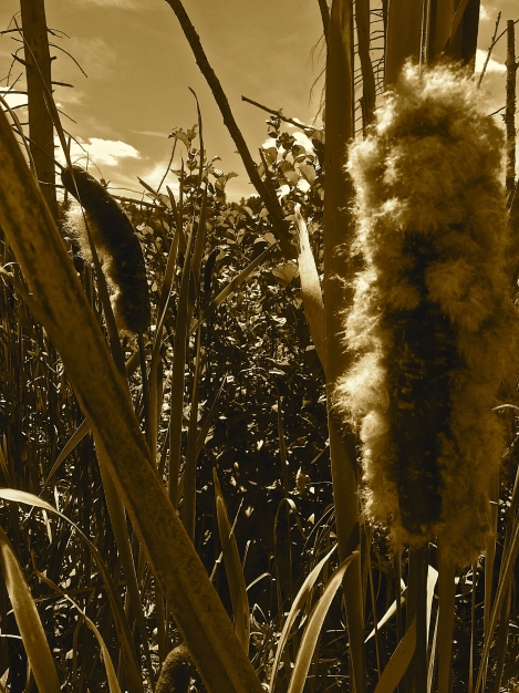 sepia cattails