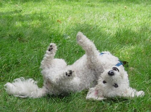 Teddy rolling in grass