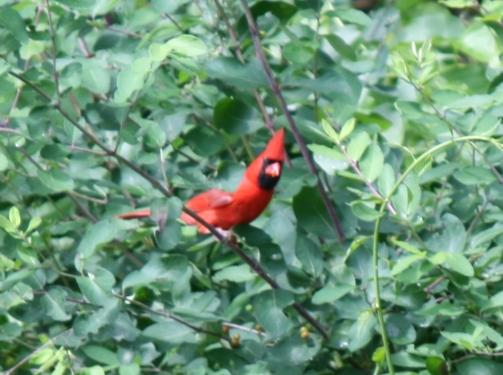 Northern cardinal -