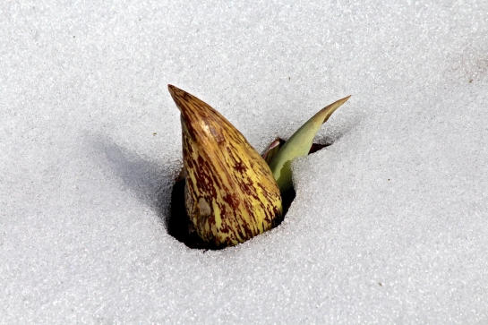 skunk cabbage in snow