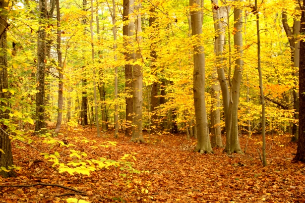 Beech trees in color
