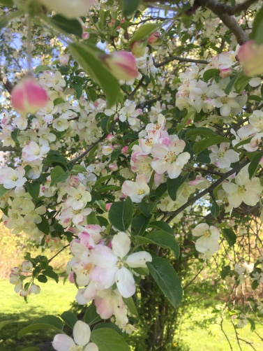 Apple blossoms at Heard Farm