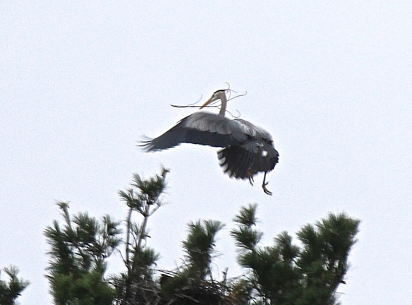 Heron with twigs