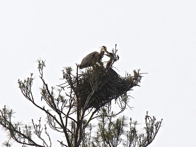Heron feeding young