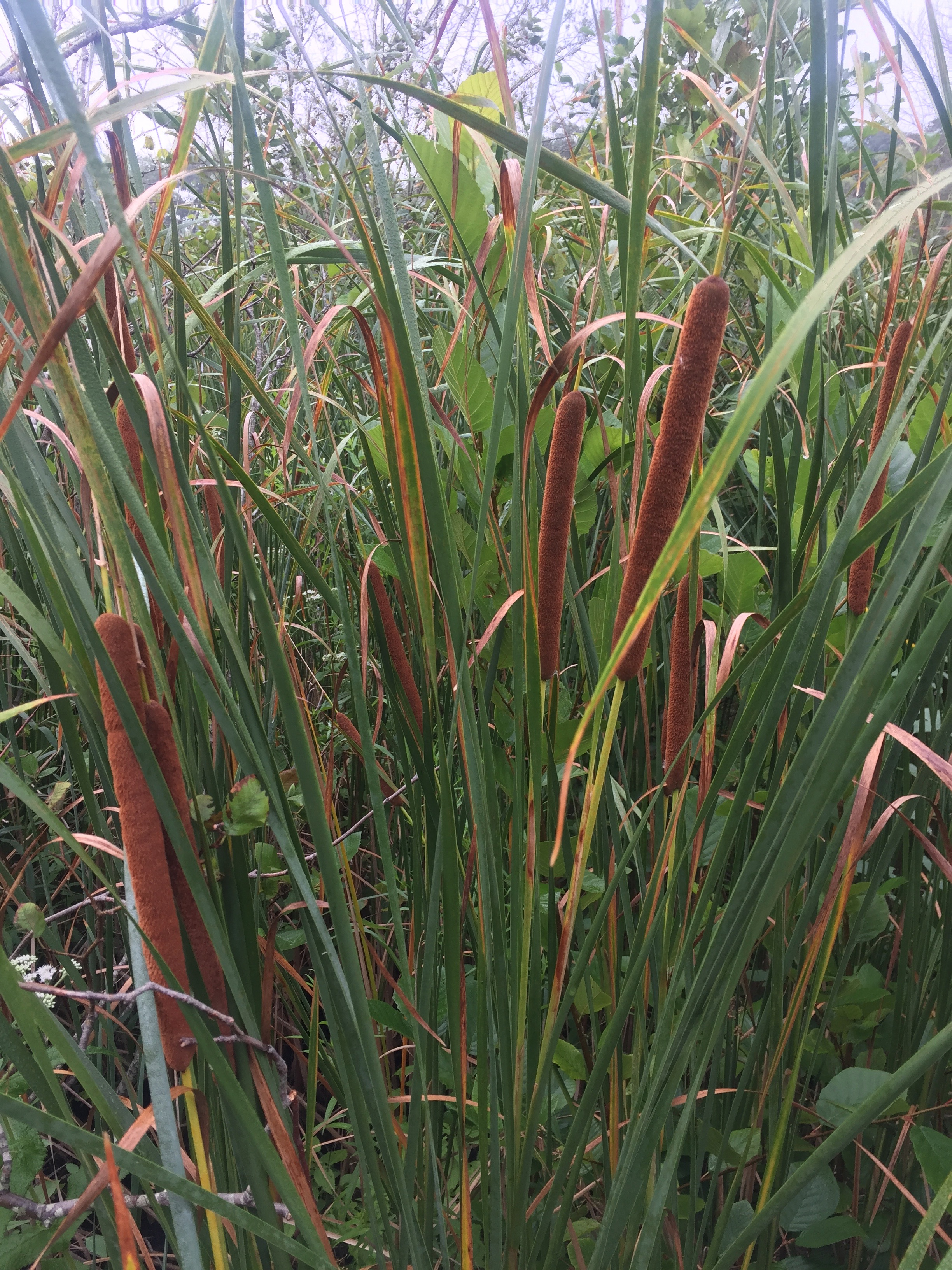 cat tails at Wellesley