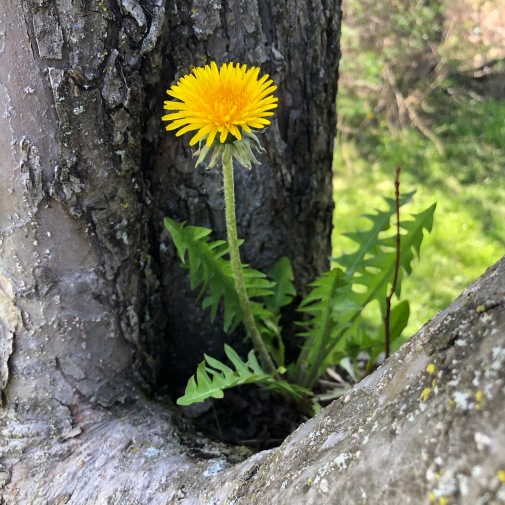 dandelion in tree crotch