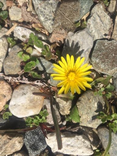 Dandelion amid stones