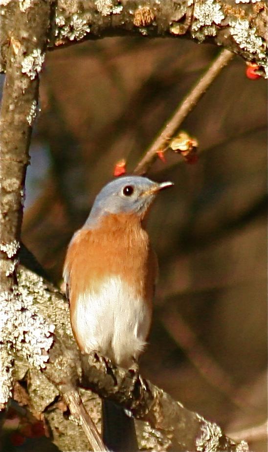 Bob's bluebird