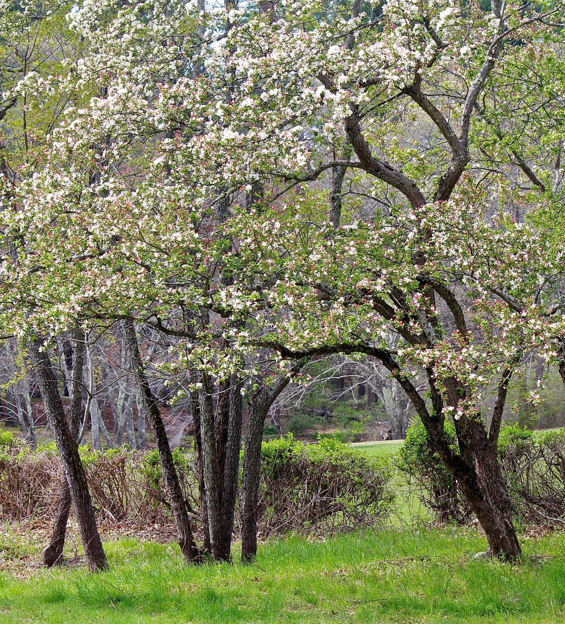 Hazel Brook orchard
